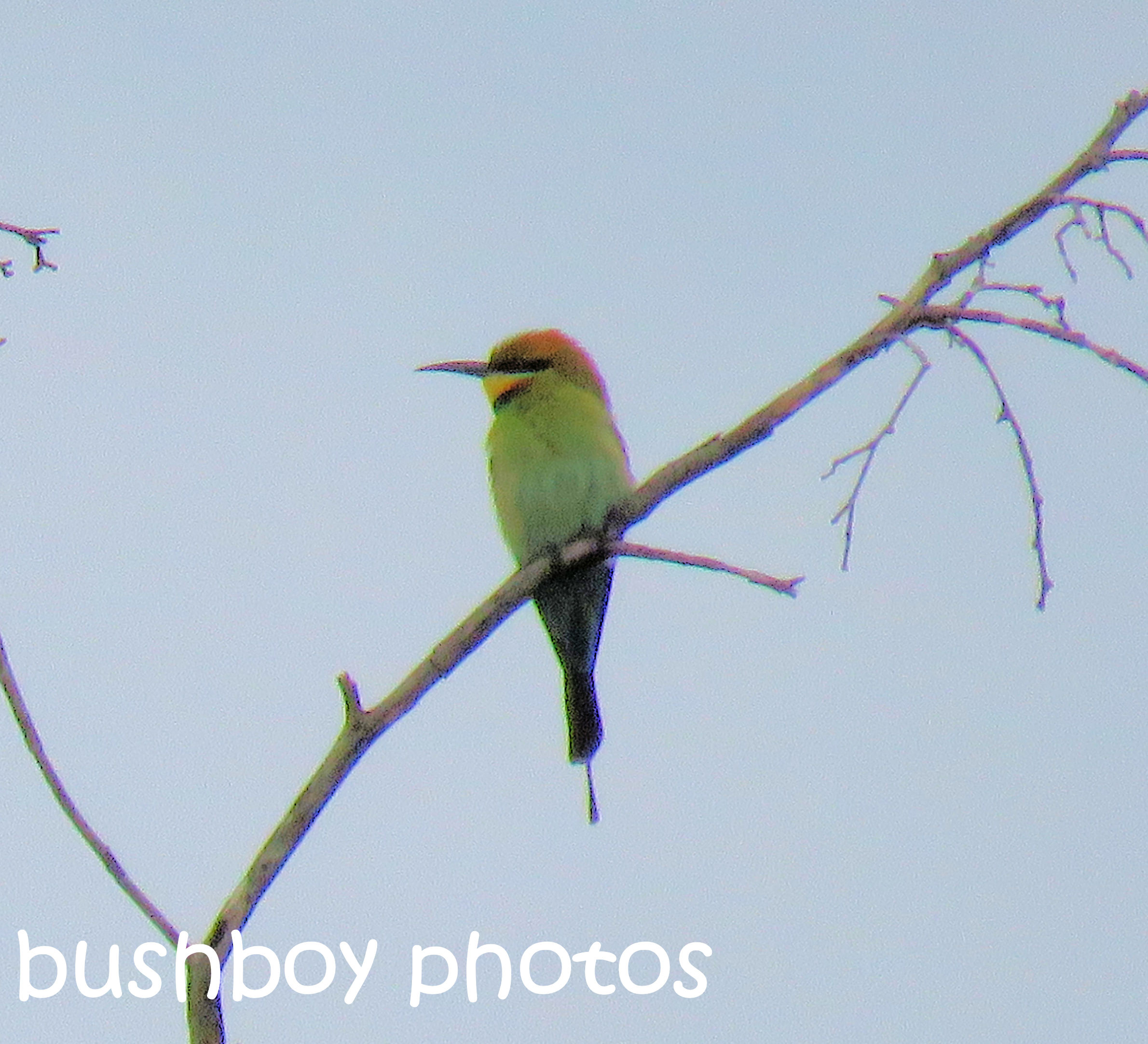 rainbow-bee-eater_named_home_sept-2016