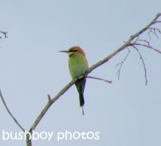 rainbow-bee-eater_named_home_sept-2016