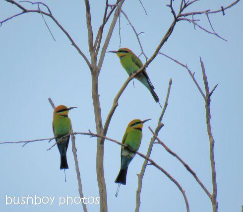 rainbow-bee-eaters01_named_home_aug-2016
