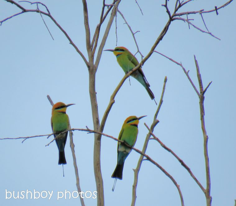 rainbow-bee-eaters01_named_home_aug-2016