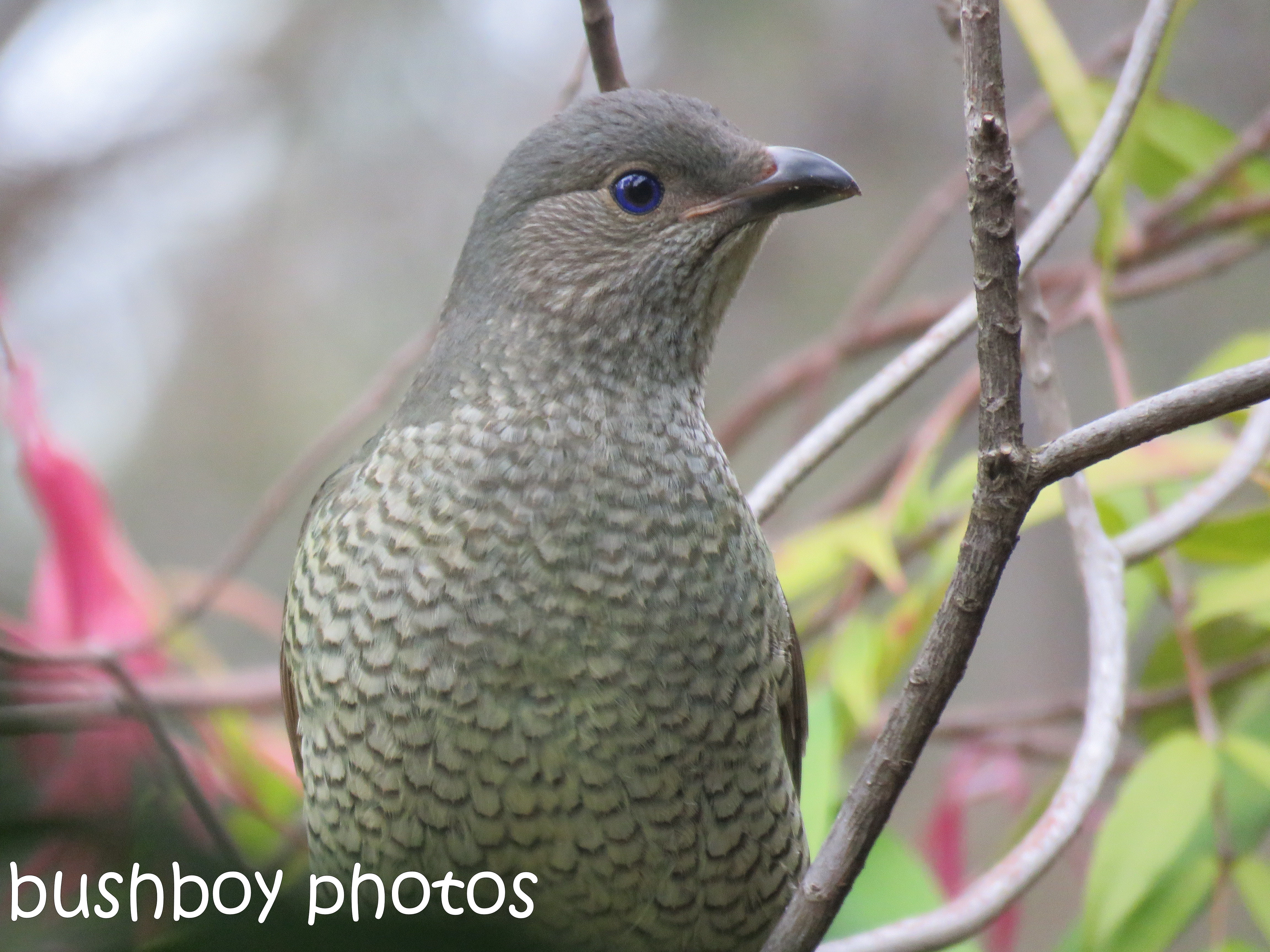 satin-bowerbird_female_named_home_aug-2016