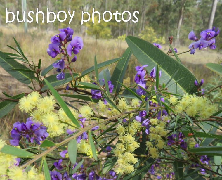 wisteria-native_wattle_named_home_aug-2016