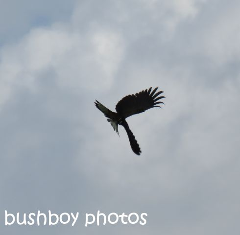 yellow-tailed-black-cockatoo01_named_south-grafton_sept-2016