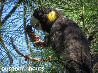 yellow-tailed-black-cockatoo02_named_home_sept-2016