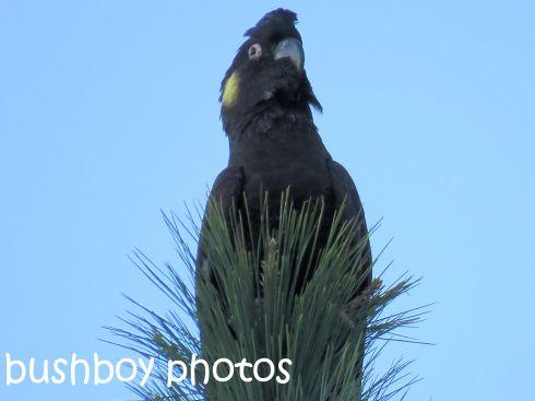 yellow-tailed-black-cockatoo_named_binna-burra_sept-2016