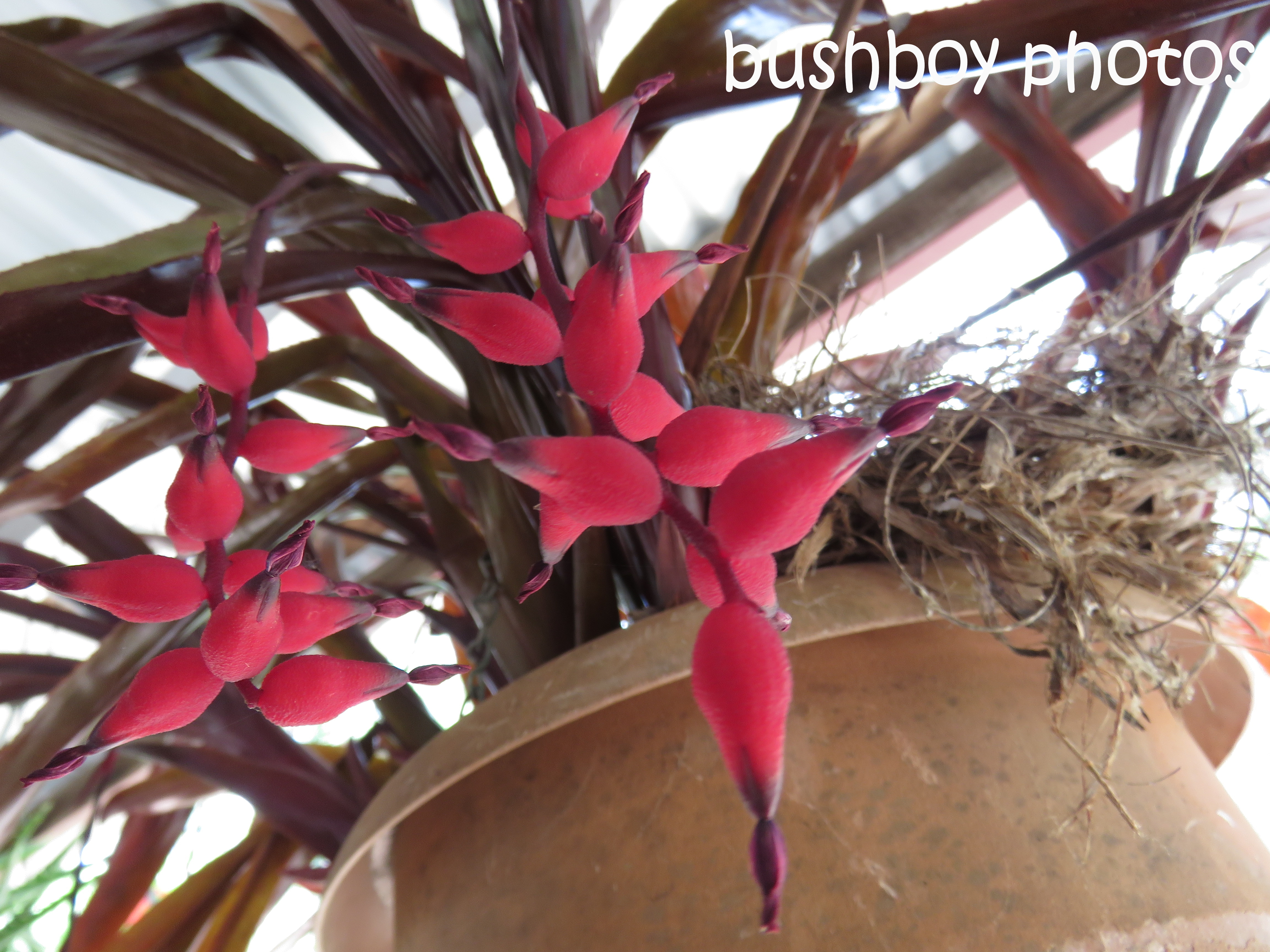 bromiliad-red-flowers_named_home_oct-2016