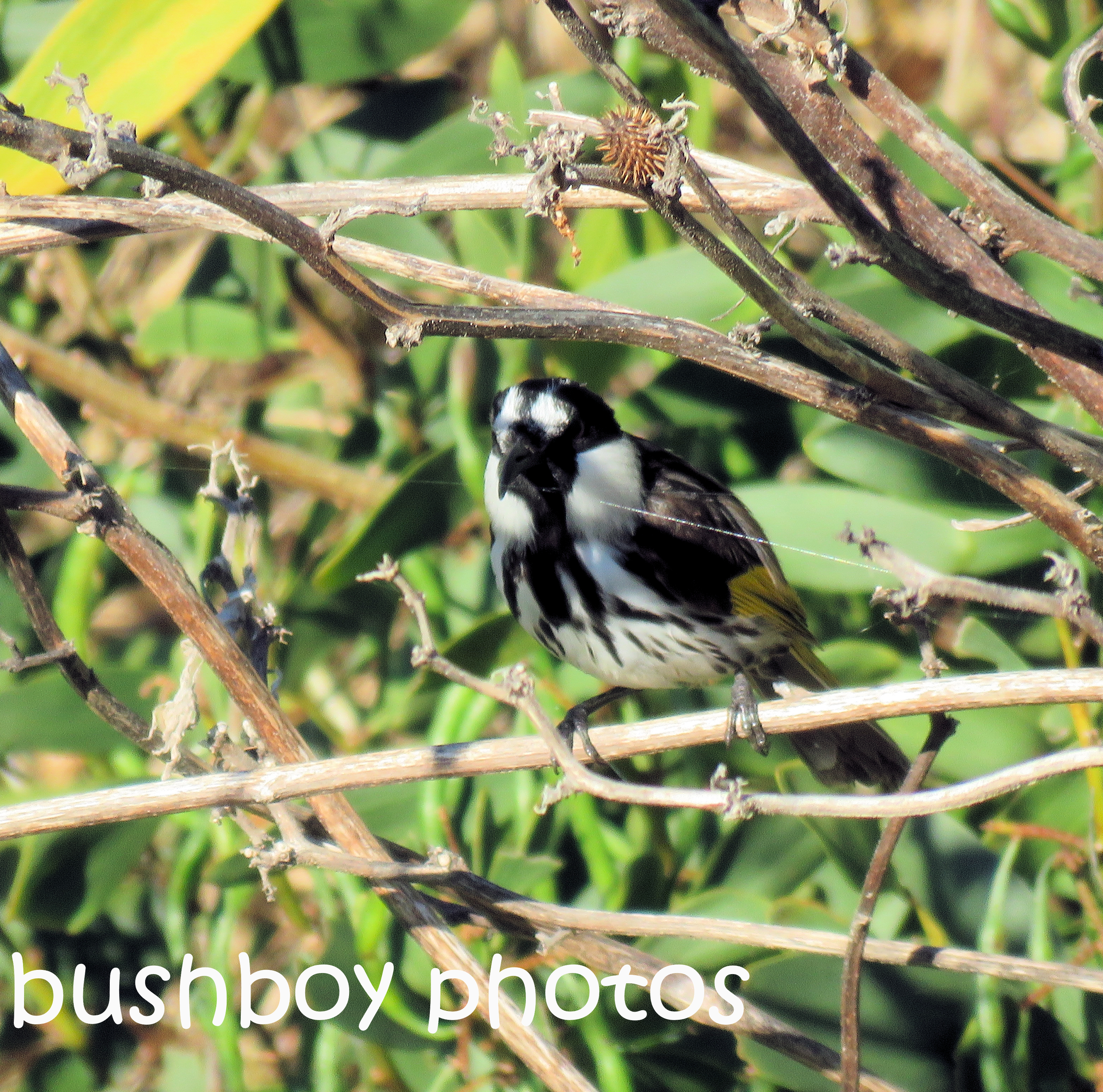 new-holland-honeyeater_named_coffs-harbour_oct-2016