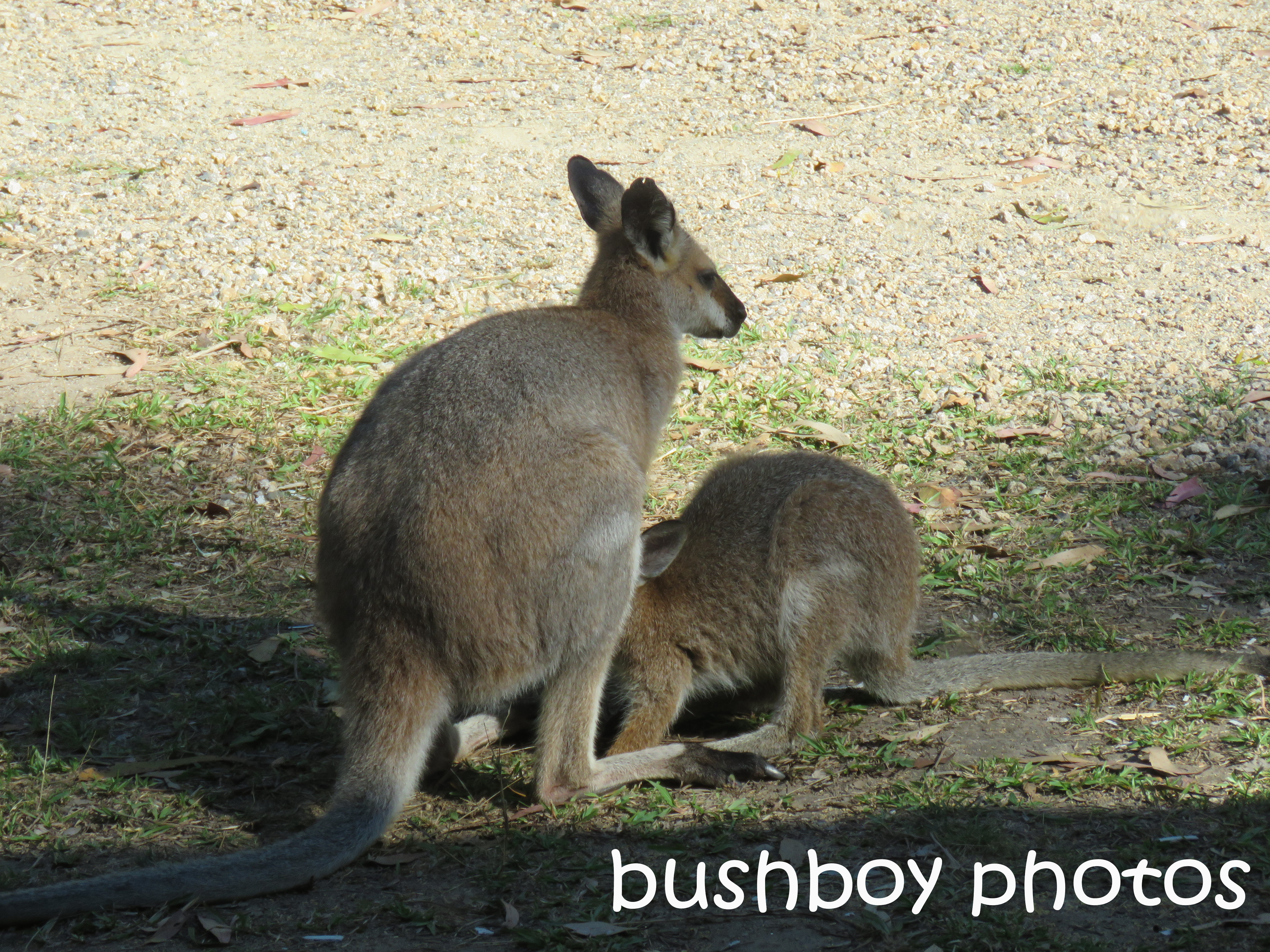 red-necked-wallabies_named_home_oct-2016