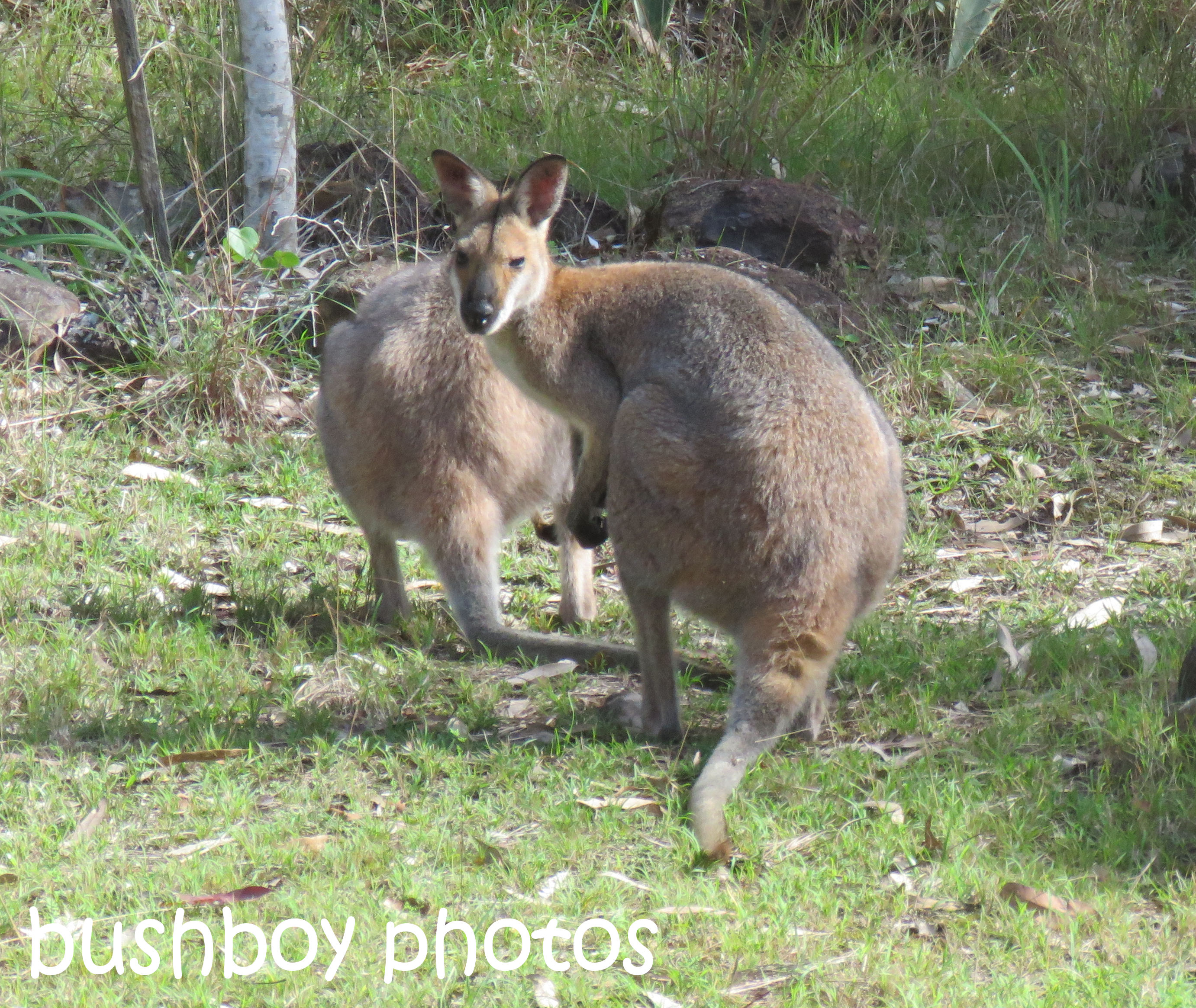 red-necked-wallabies_named_home_sept-2016