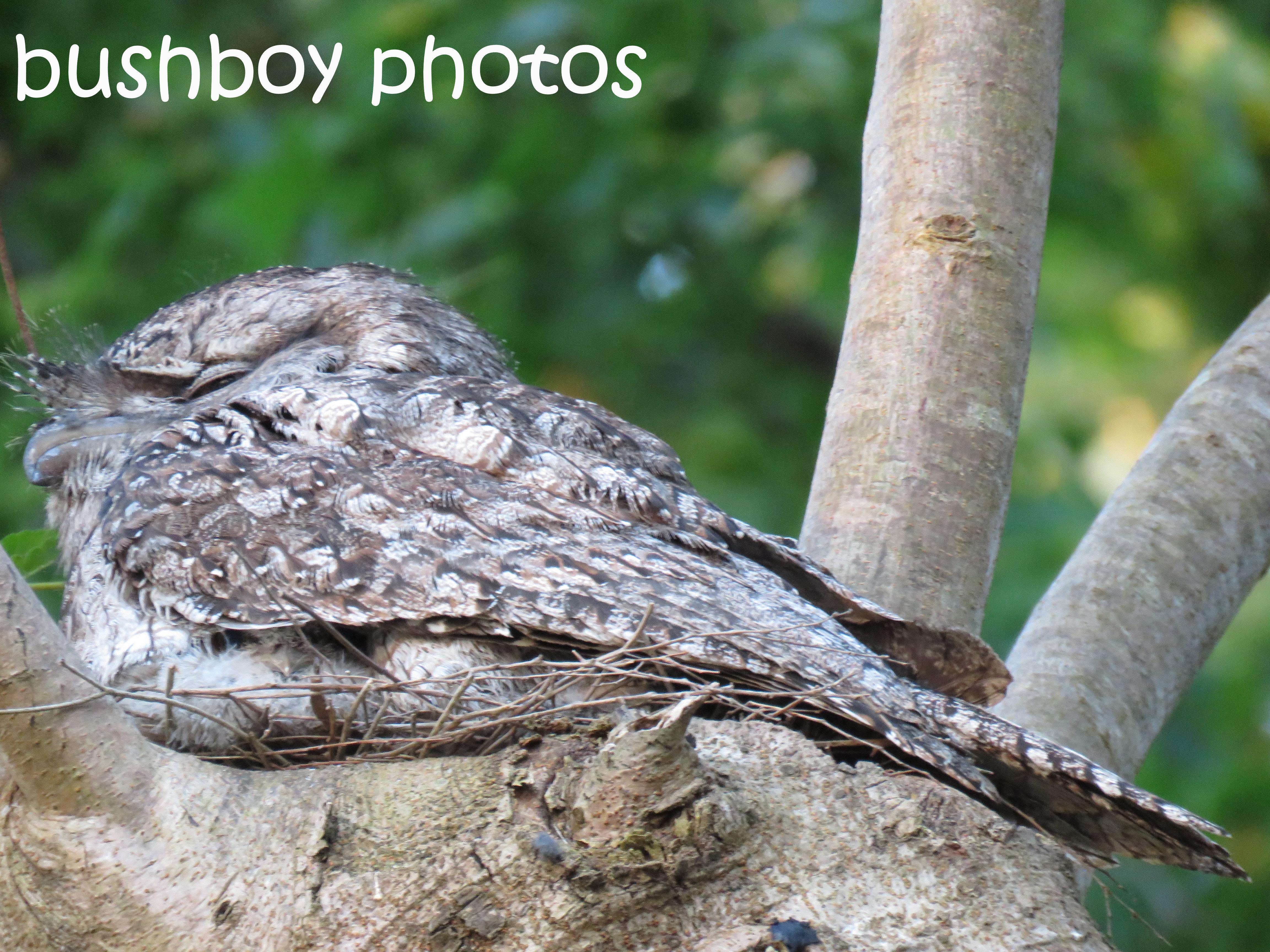 tawny-frogmouth_named_binna-burra_oct-2016