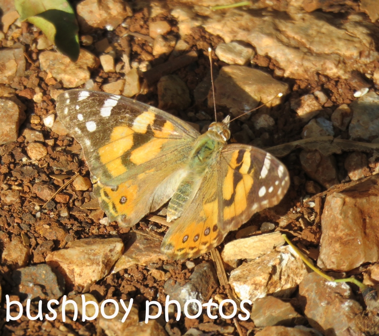 australian-painted-lady-body_named_-binna-burra_nov-2016