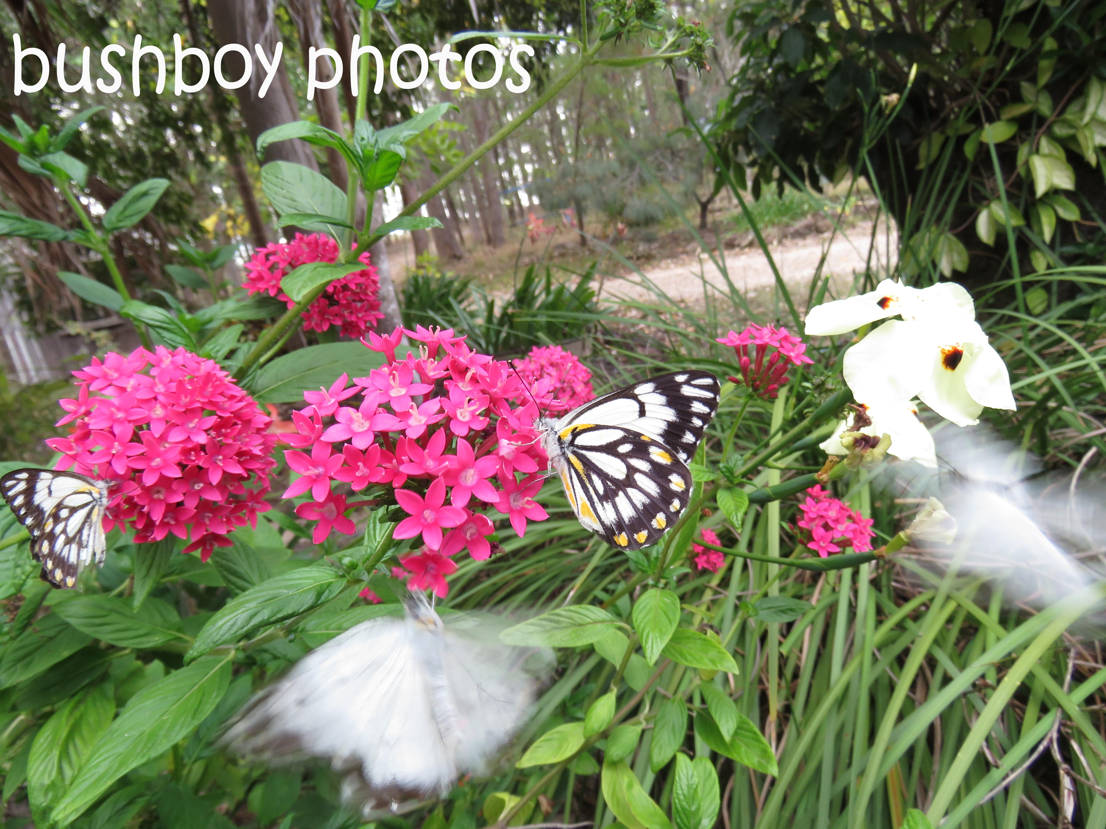 caper-white-butterflies_named_home_nov-2106