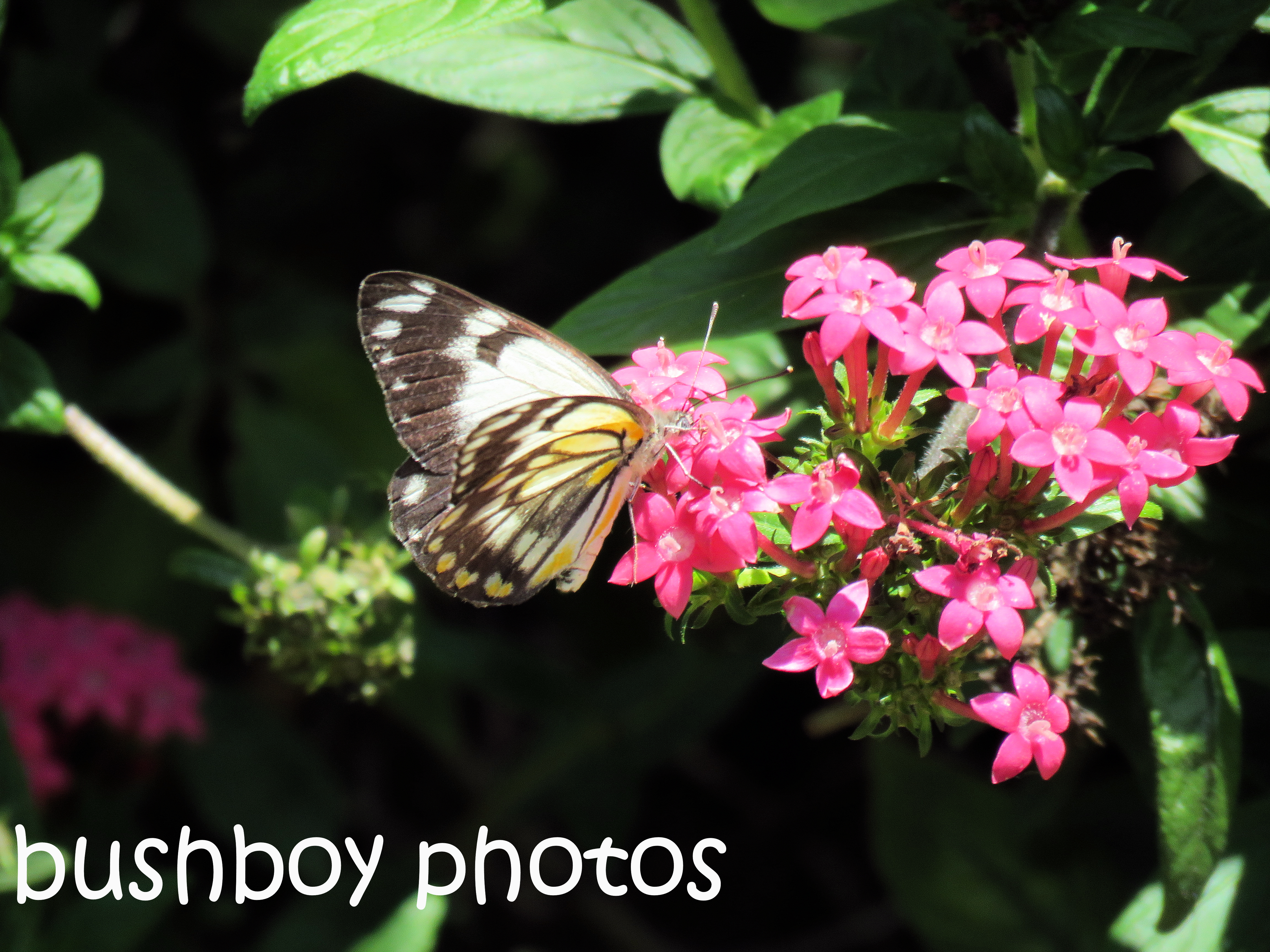 caper-white-butterfly05_named_home_oct-2016