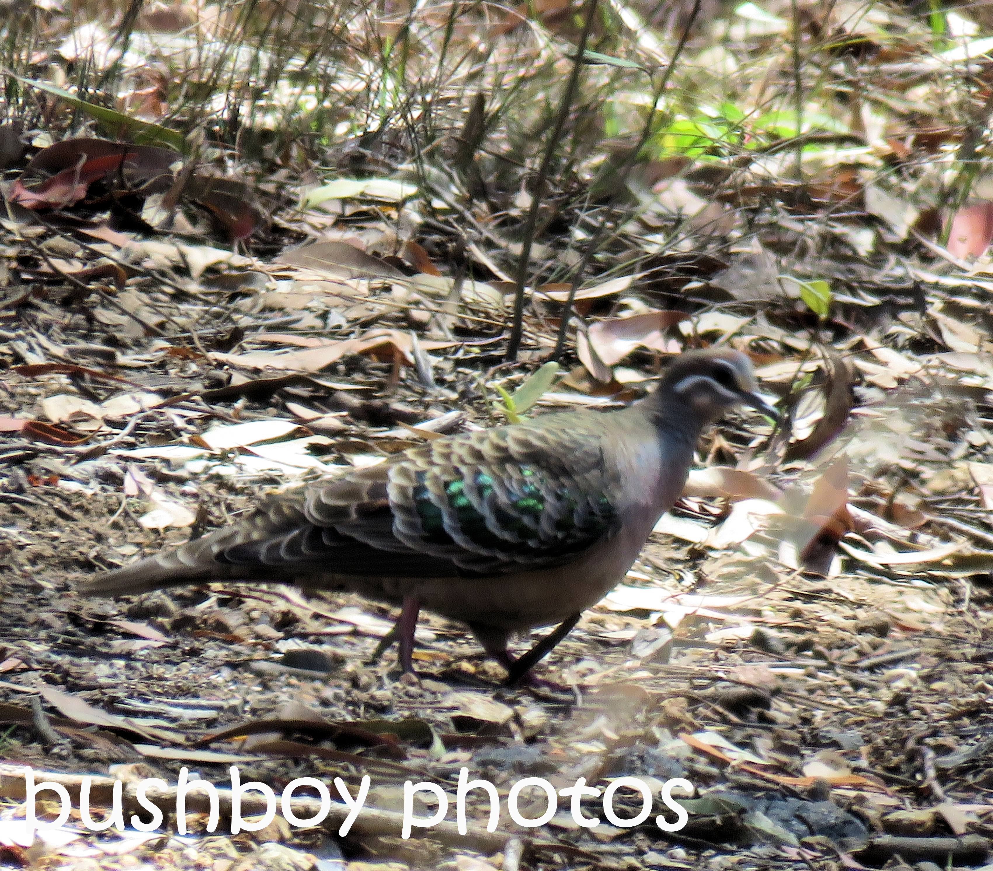 common-bronzewing_named_home_oct-2016
