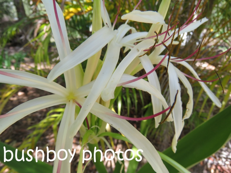 crinum-flower_named_home_nov-2016