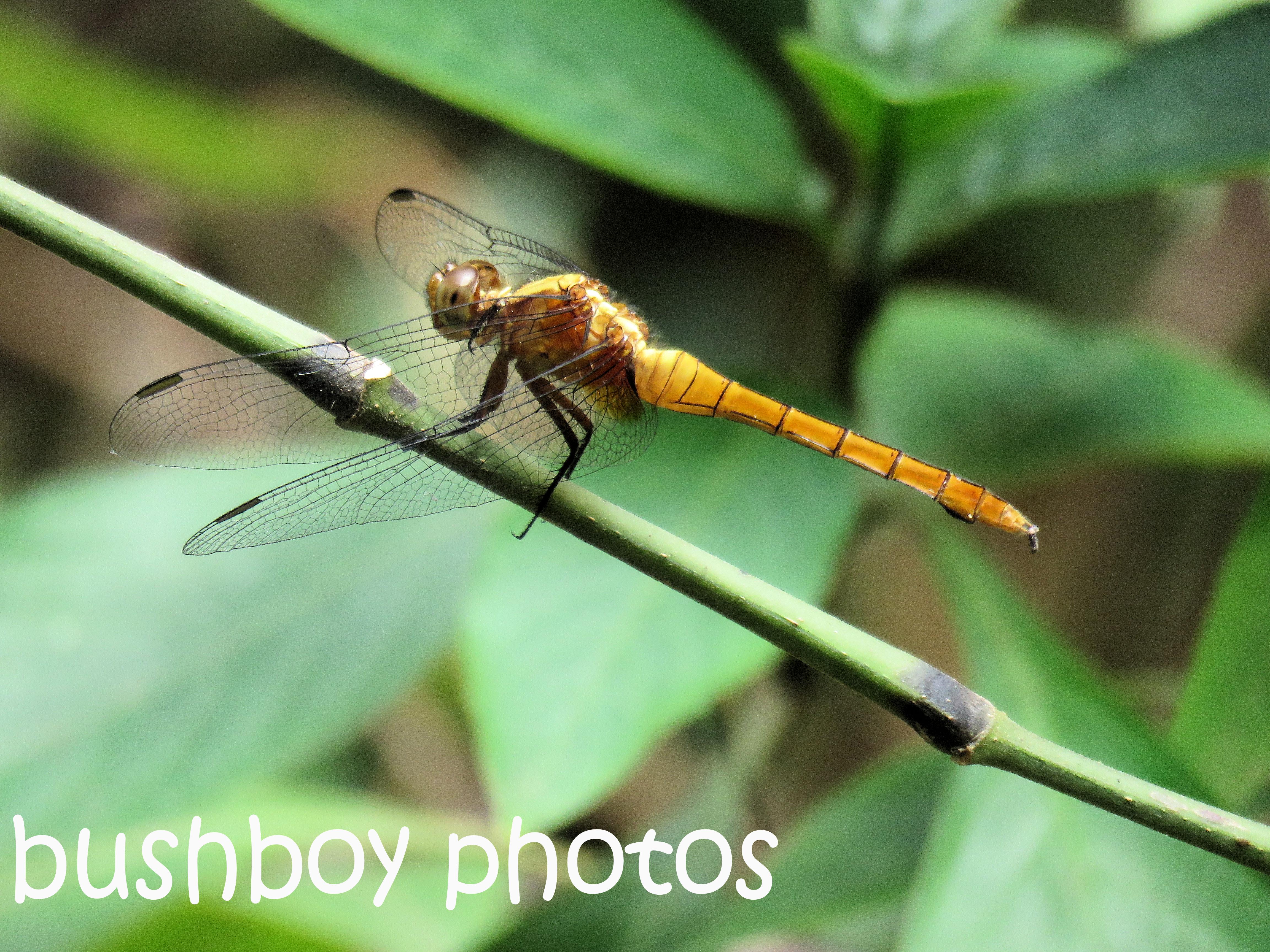 dragonfly01_named_binna-burra_nov-2016