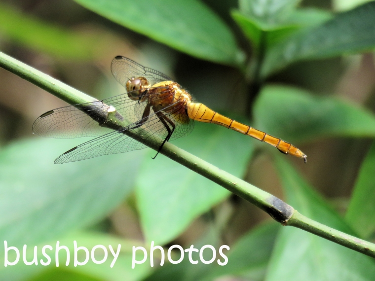 dragonfly01_named_binna-burra_nov-2016