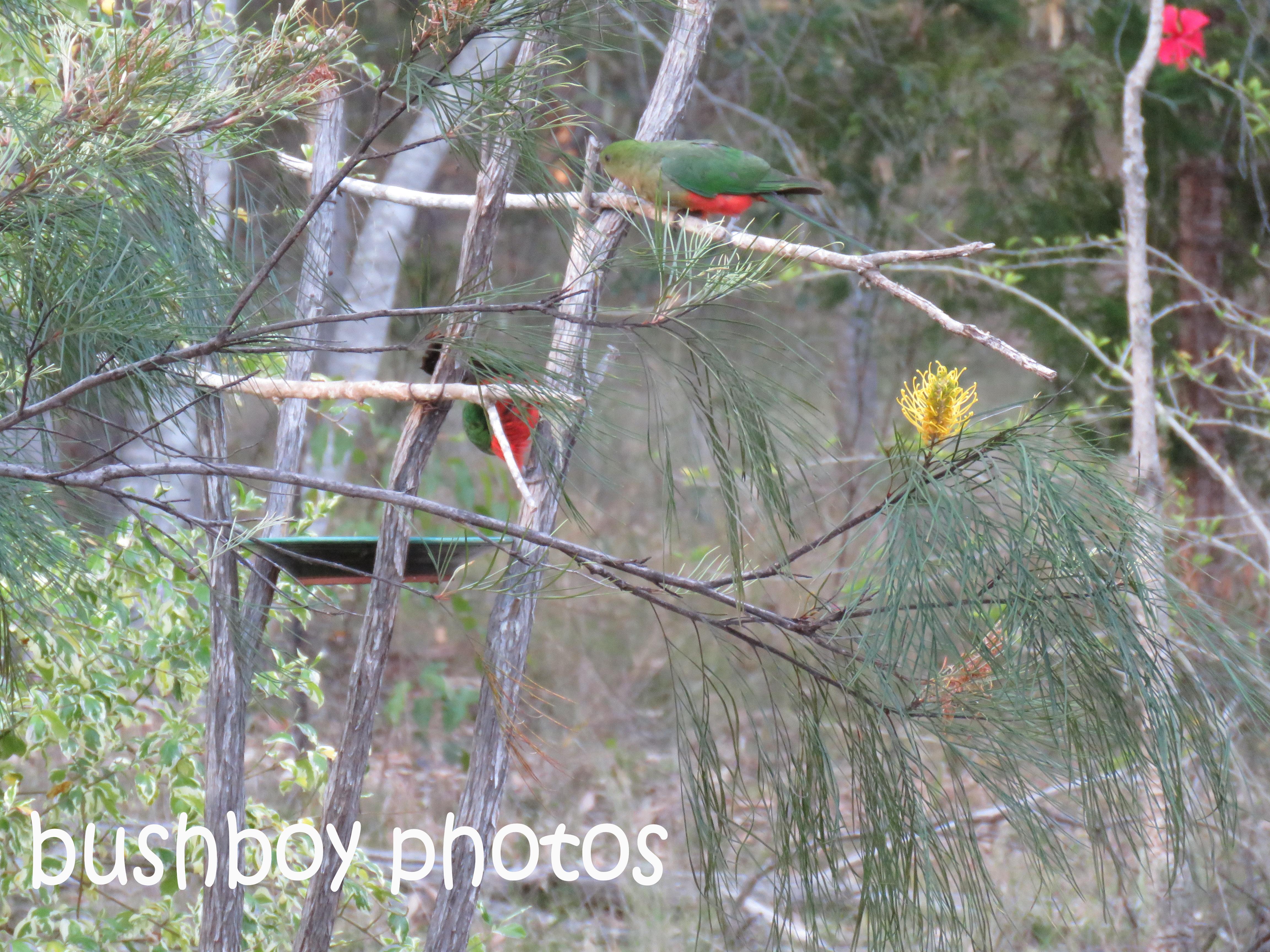 king-parrots_bird-bath_named_home_nov-2016