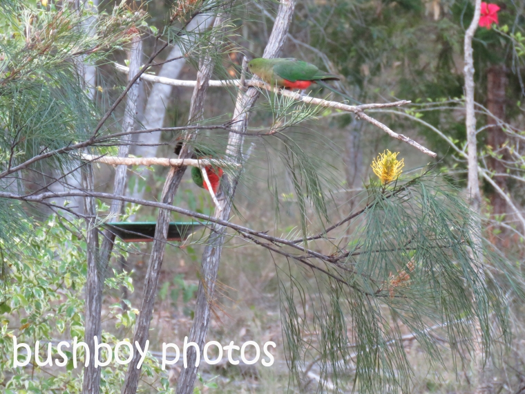 king-parrots_bird-bath_named_home_nov-2016