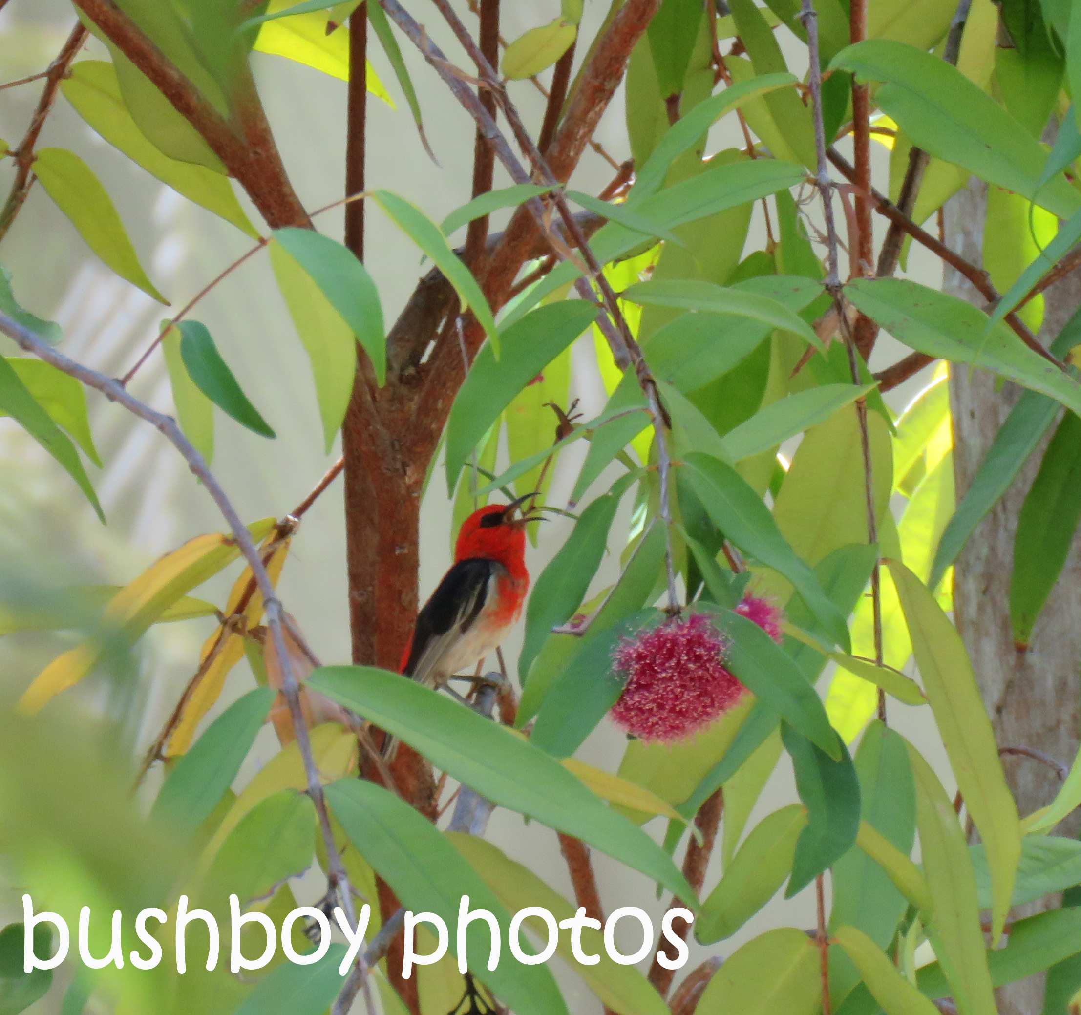 scarlet-honeyeater_singing_named_home_nov-2016