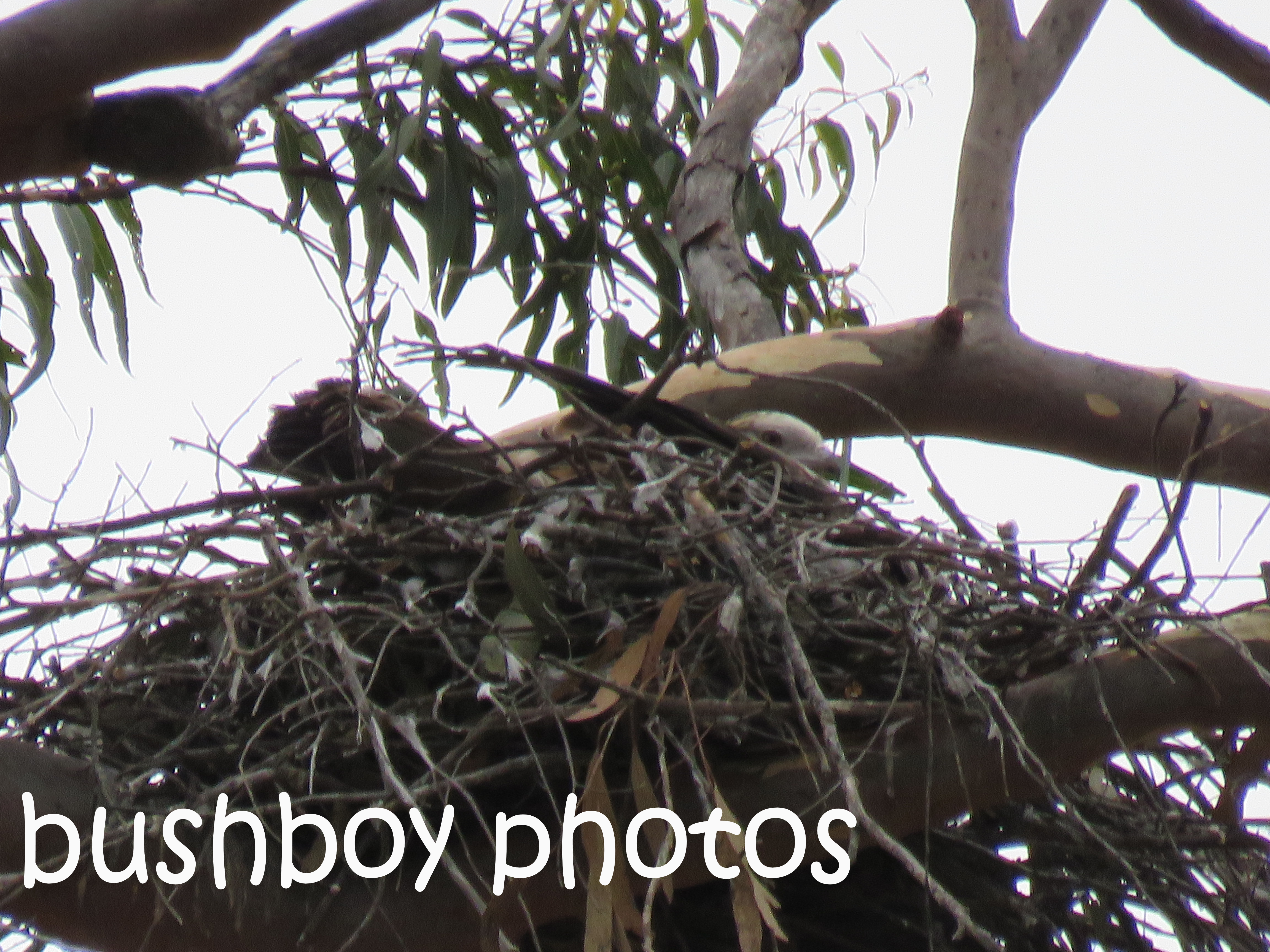 square-tailed-kite_nest_named_home_nov-2016