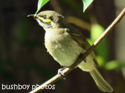 yellow-faced-honeyeater_named_home_nov-2016