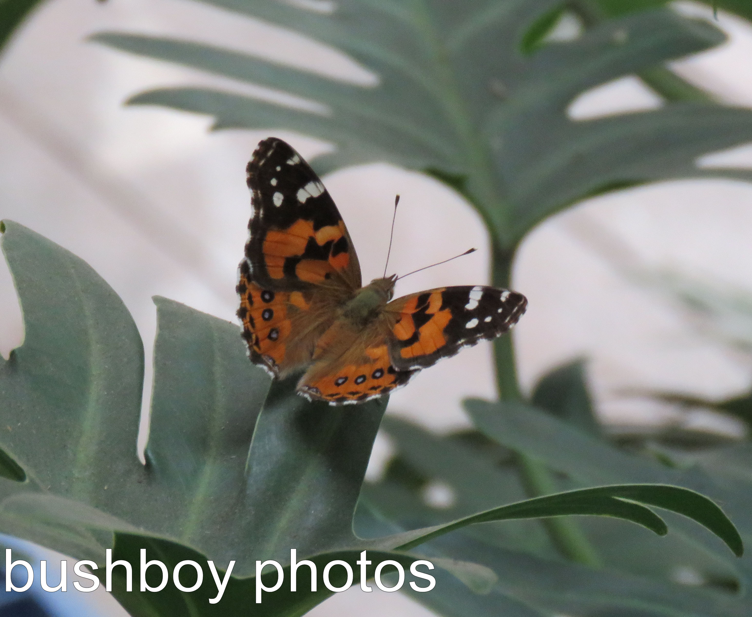 australian-painted-lady_named_home_dec-2016