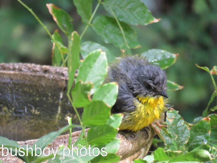 eastern-yellow-robin_fluffed_named_binna-burra_named_dec-2016