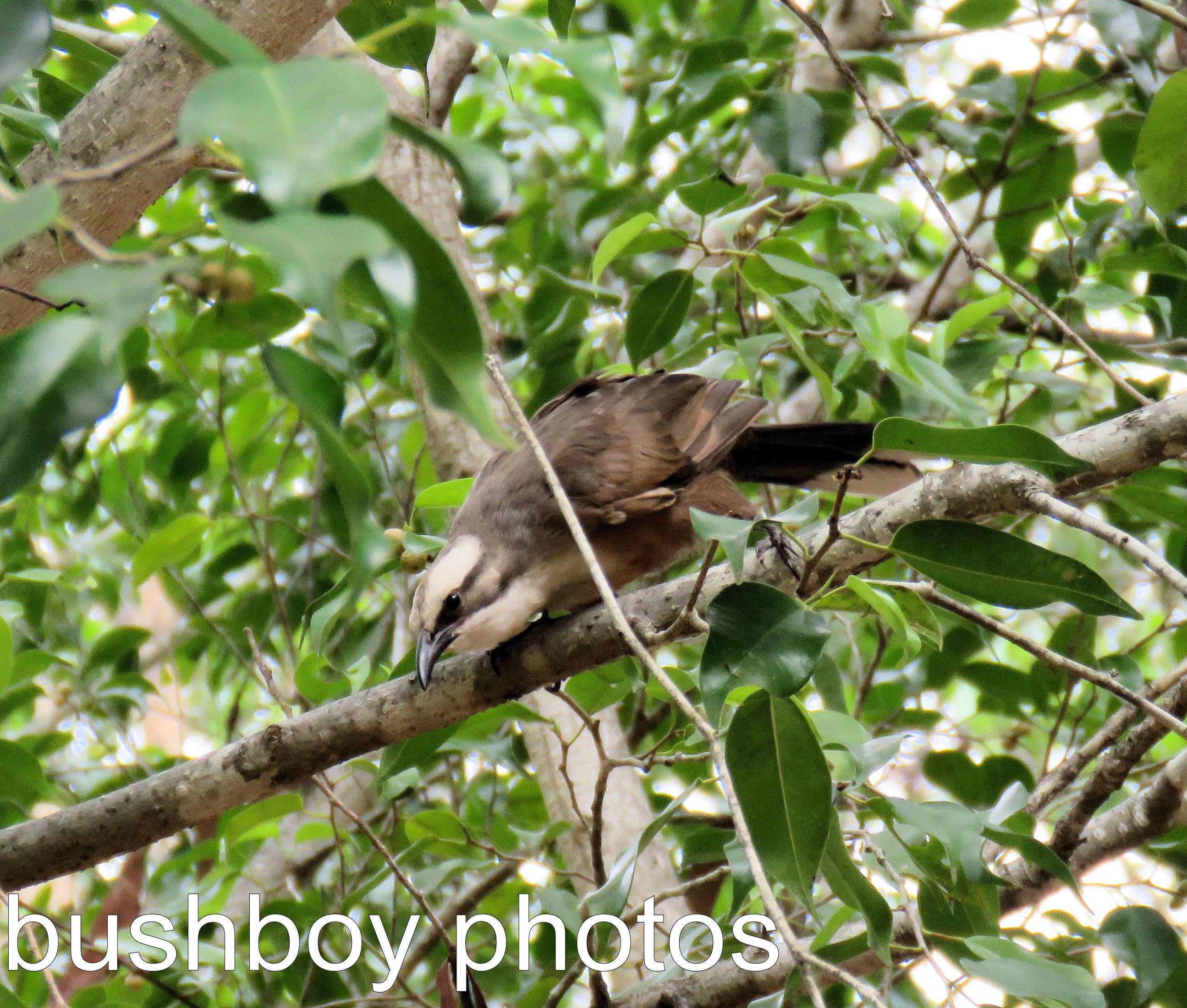 grey-crowned-babbler_named_home_dec-2016