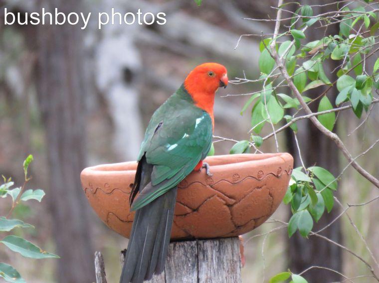 king-parrot_birdbath_named_home_dec-2016