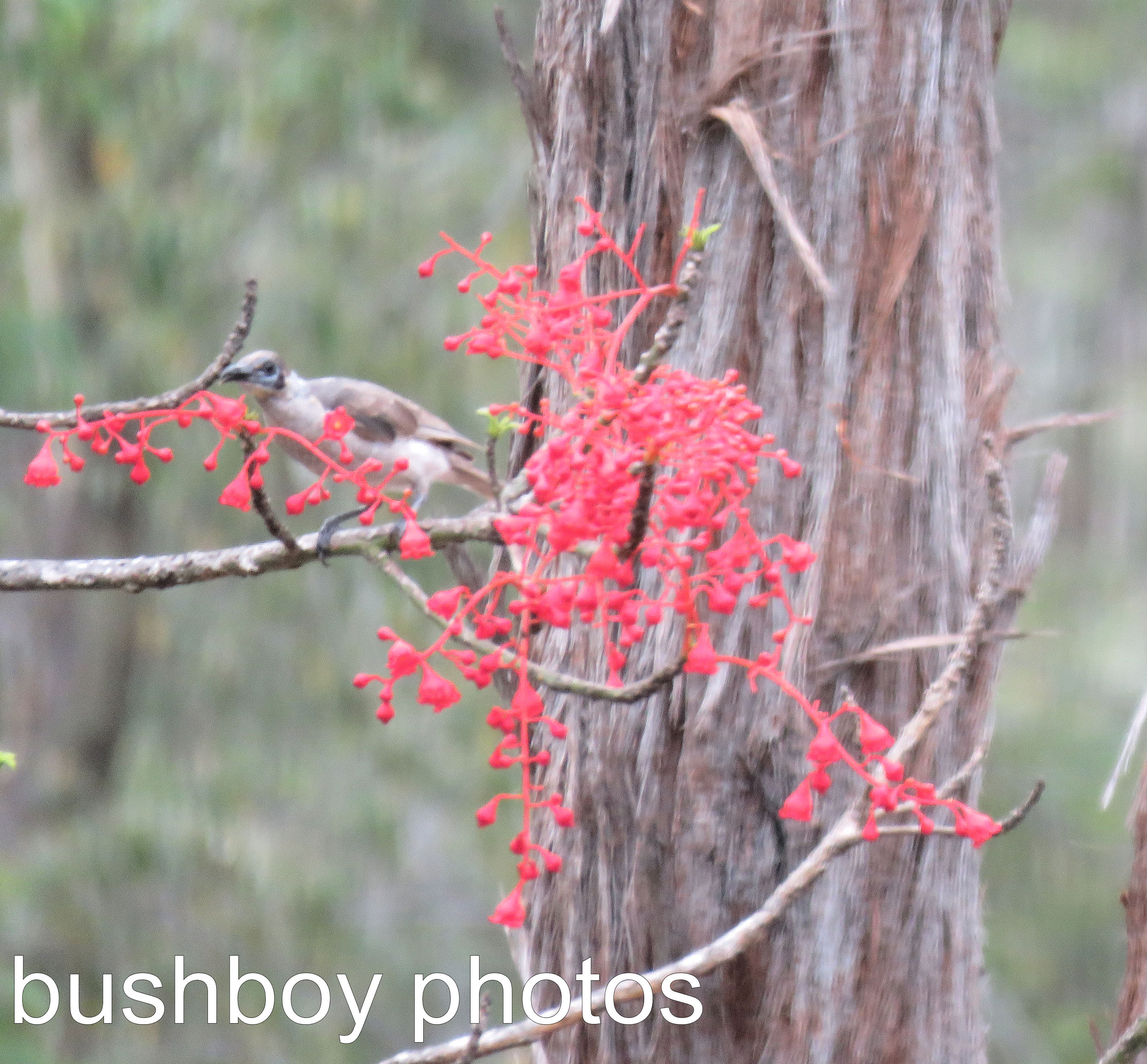 little-friarbird_flame-tree_named_home_dec-2016