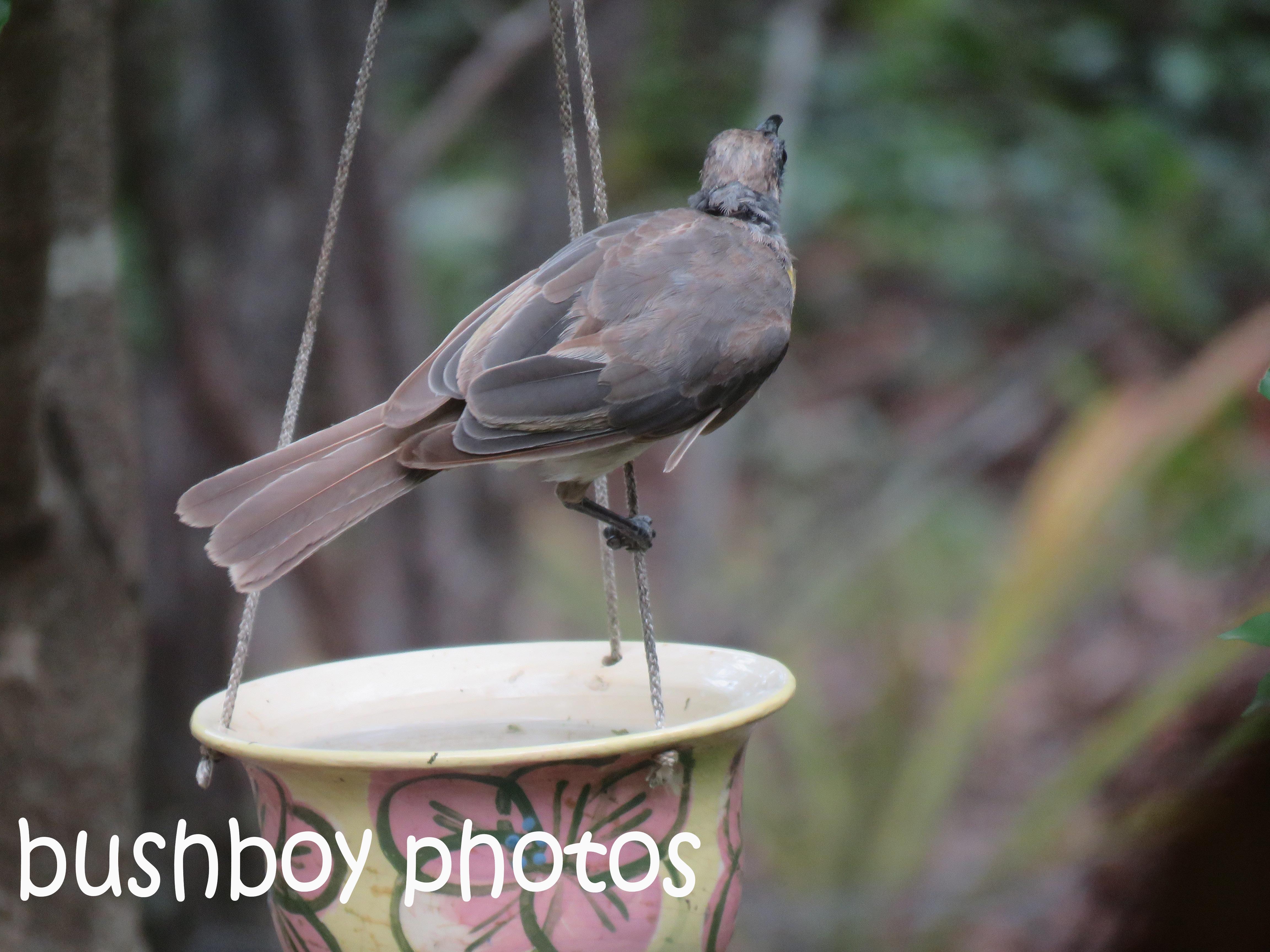 little-friarbird_named_home_dec-2016