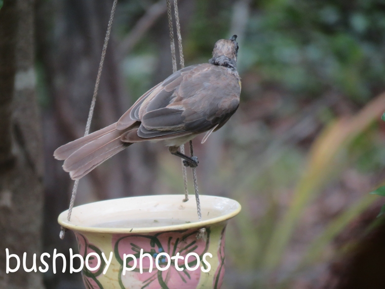 little-friarbird_named_home_dec-2016