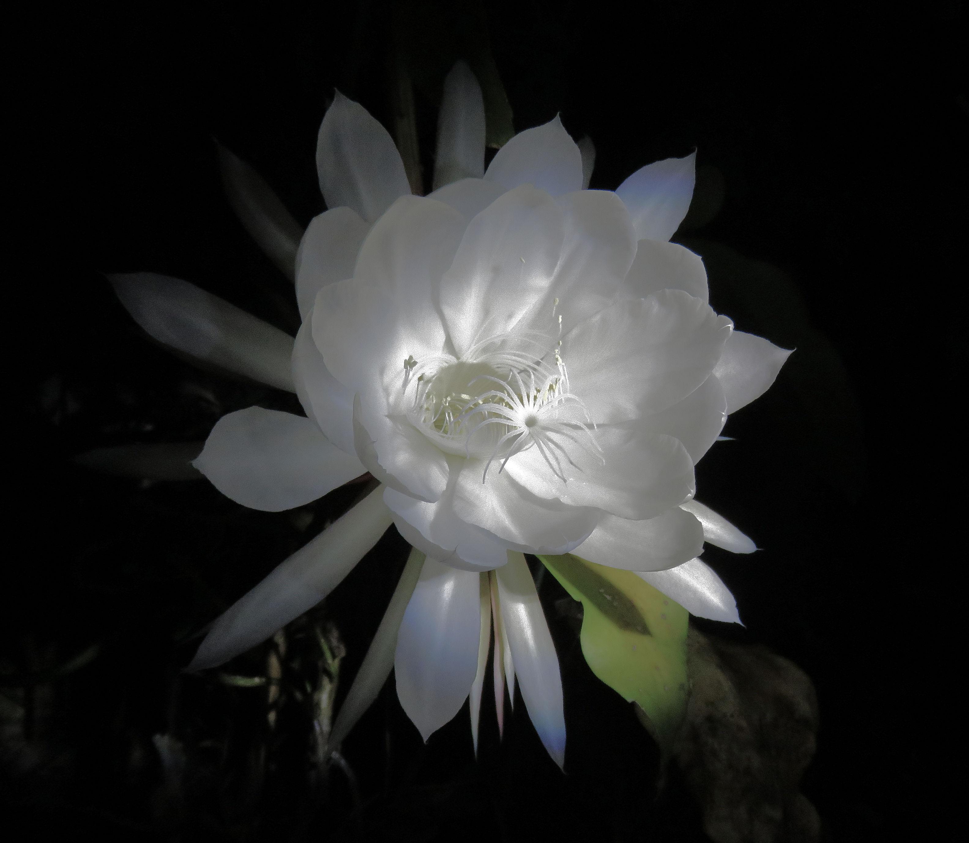 moon-flower01_named_binna-burra_dec-2016