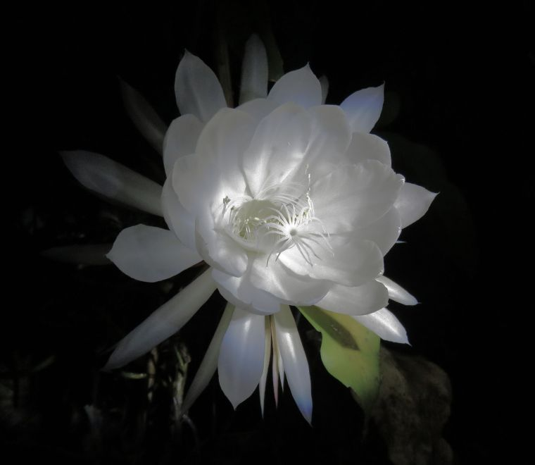 moon-flower01_named_binna-burra_dec-2016