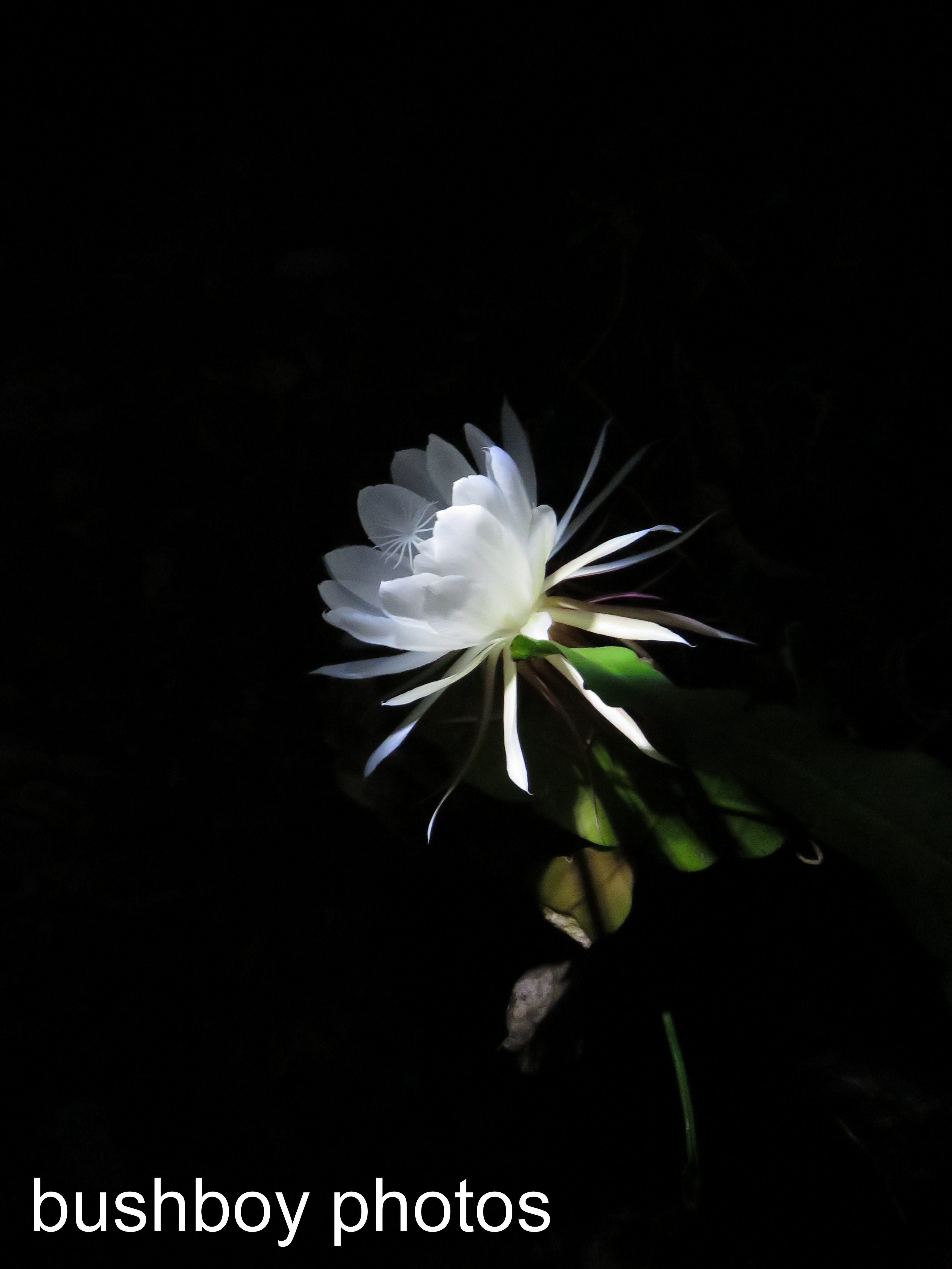 moon-flower03_named_binna-burra_dec-2016