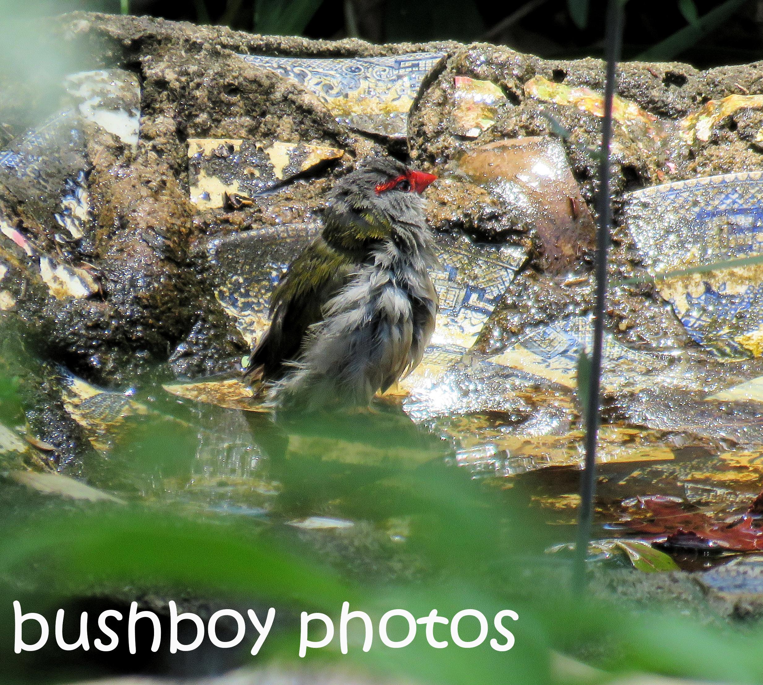 red-browed-finch_birdbath_named_binna-burra_dec-2016