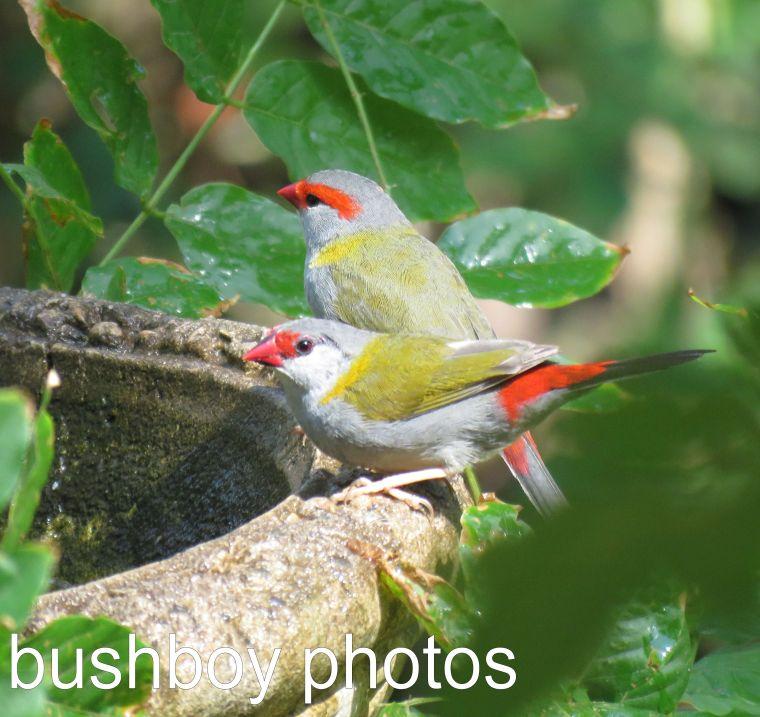 red-browed-finches_named_binna-burra_dec-2016