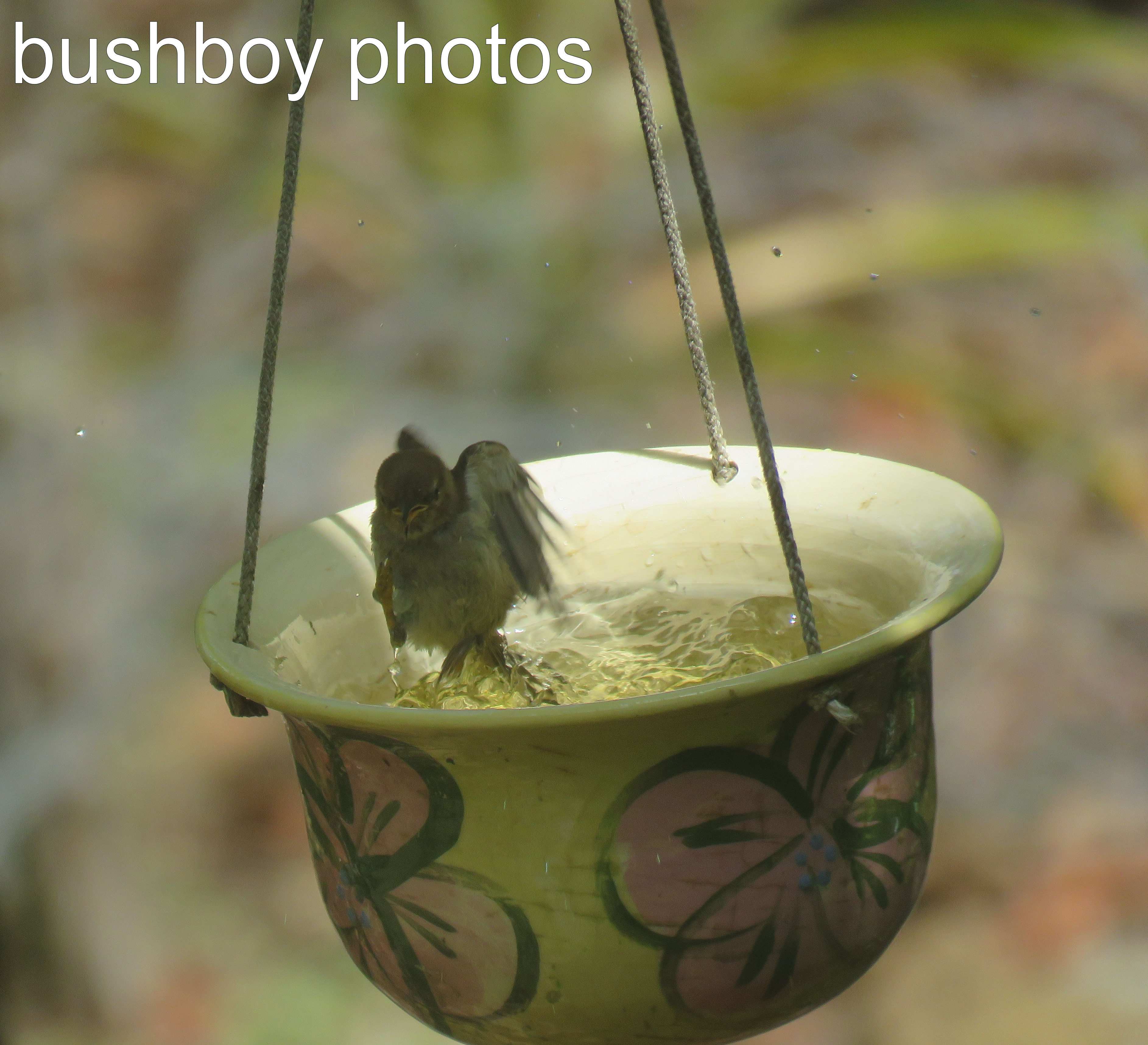 scarlet-honeyeater_female_birdbath_named_home_dec-2016