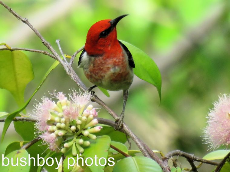 scarlet-honeyeater_male_pink-lilli-pilli_named_home_dec-2016