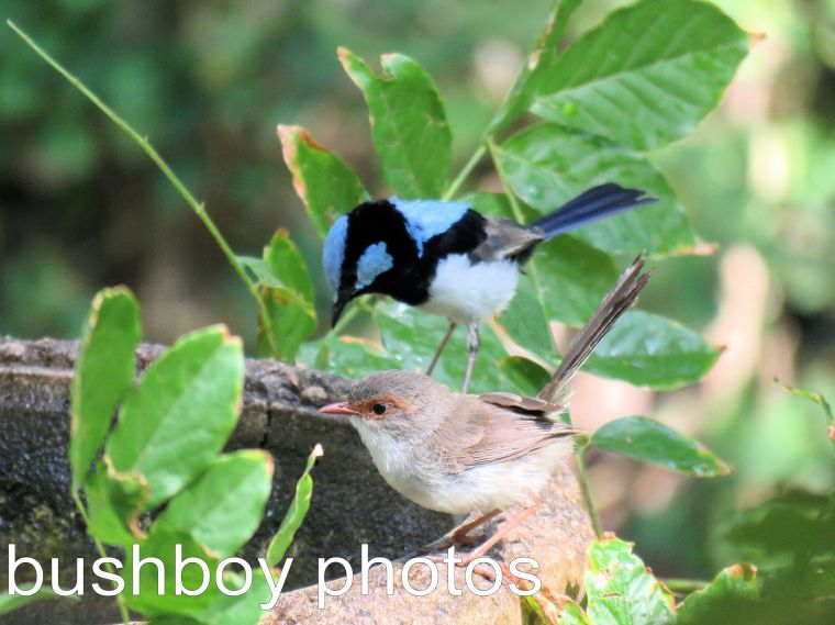 superb-fairy-wren_named_-binna-burra_dec-2016