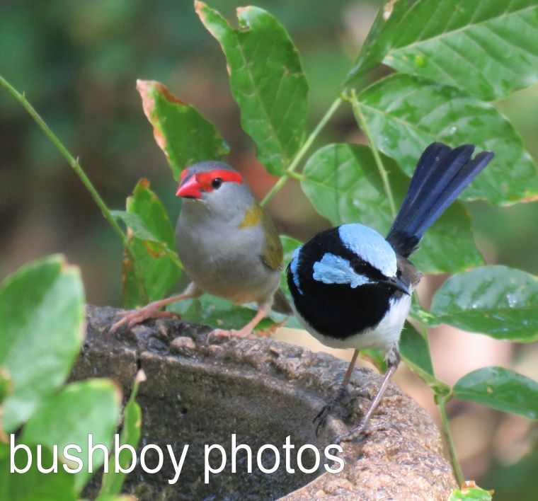 superb-fairy-wren_red-browed-finch_named_-binna-burra_dec-2016