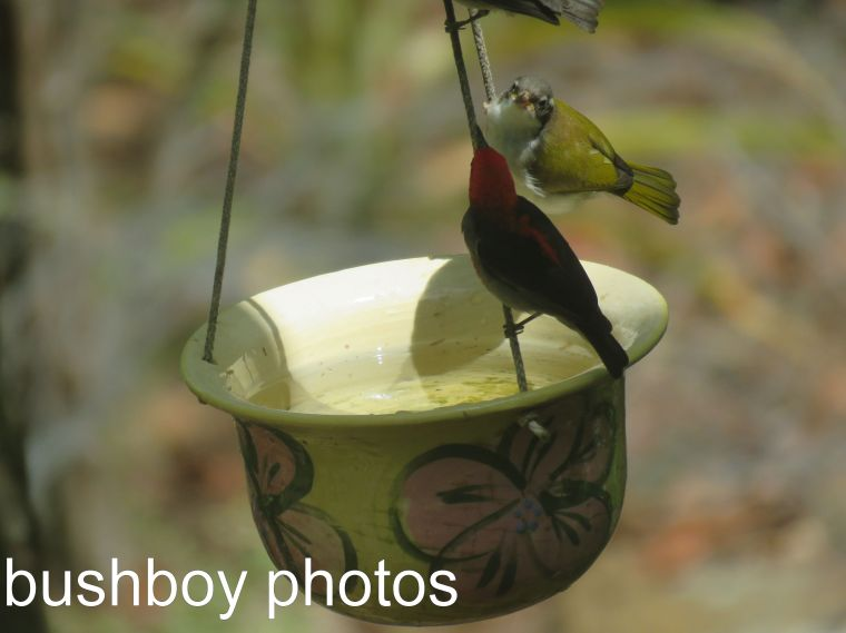 white-throated-honeyeater_scarlet-honeyeater__water-pot_named_home_dec-2016