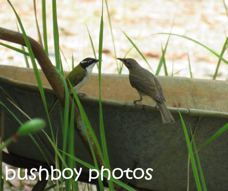 yellow-faced-white-throated-honeyeaters_barrow-bath_named_home_dec-2016