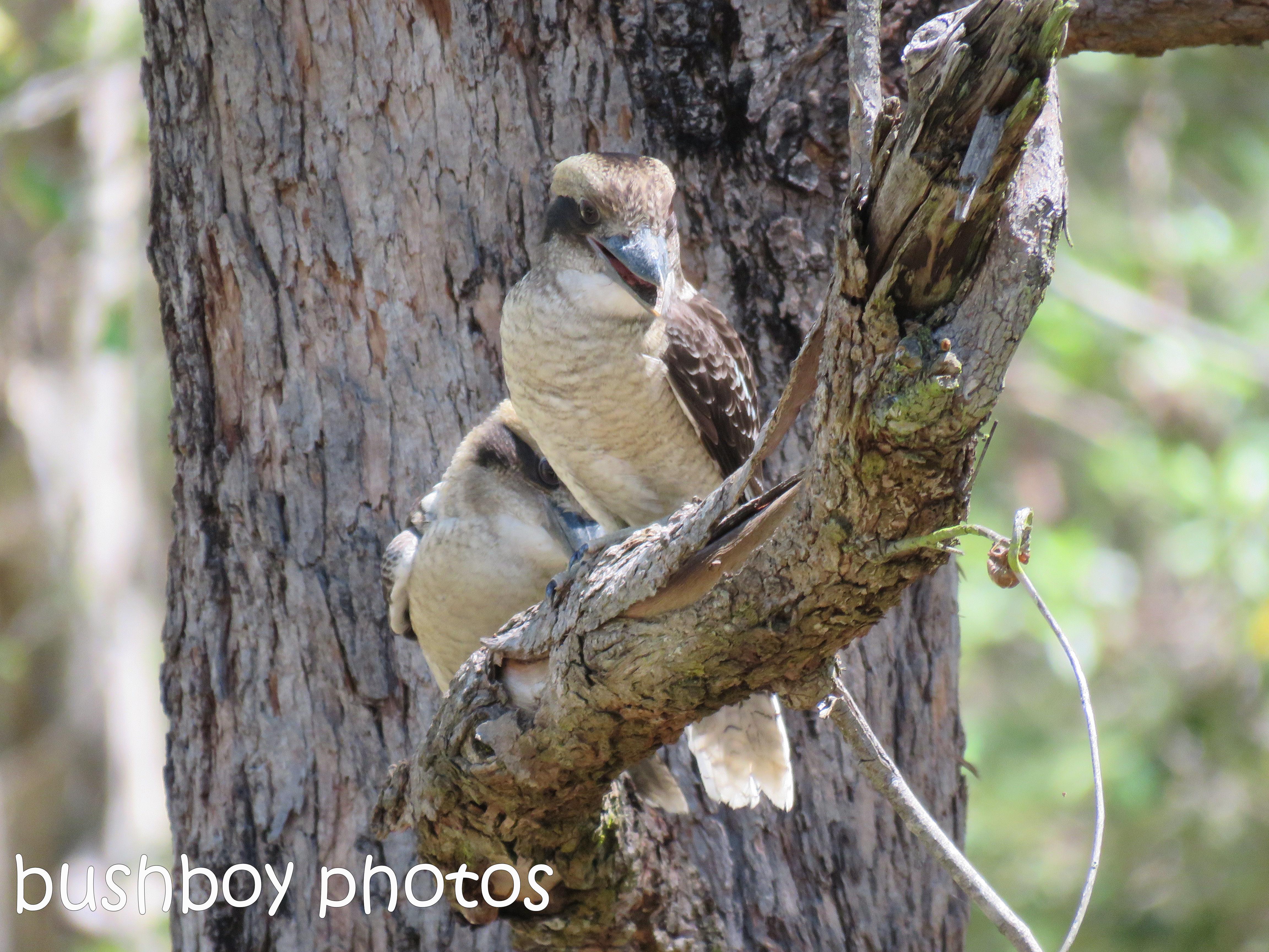 blog_feeding-kookaburra01_home_jan-2017