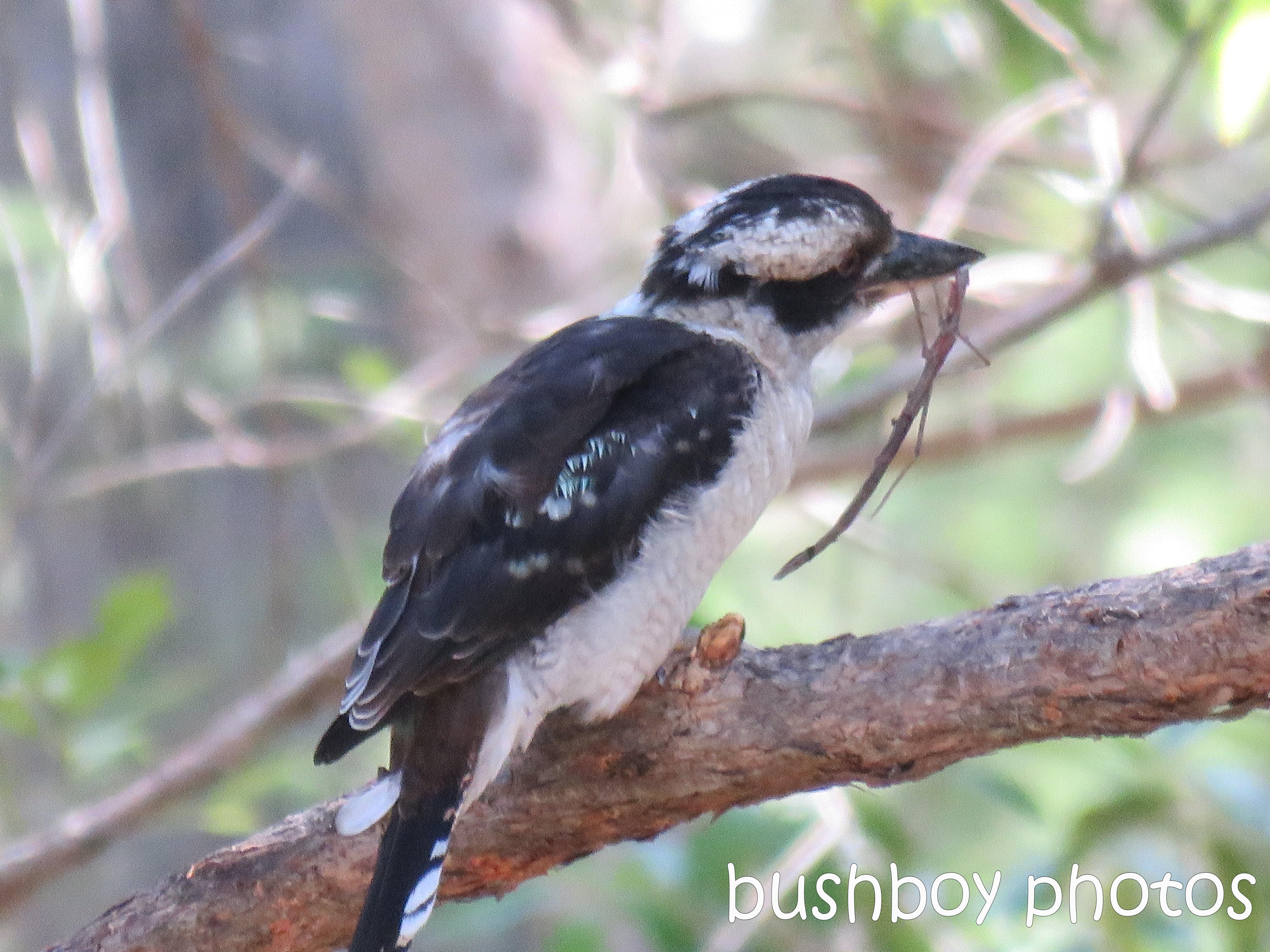 blog_feeding-kookaburra02_home_jan-2017