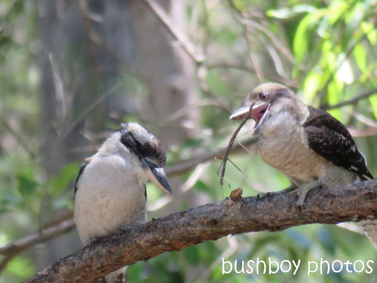 blog_feeding-kookaburra04_home_jan-2017