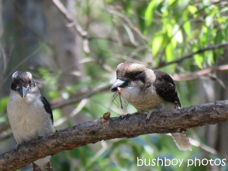 blog_feeding-kookaburra05_home_jan-2017