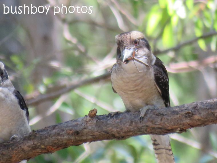 blog_feeding-kookaburra06_home_jan-2017