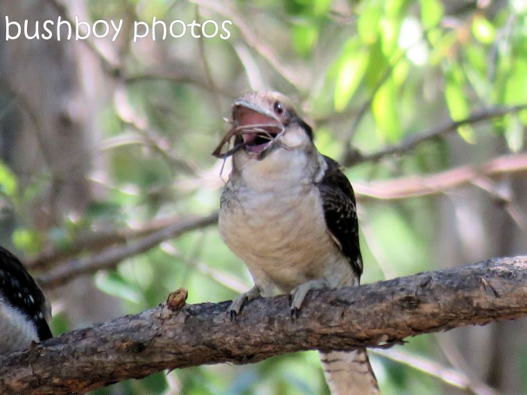 blog_feeding-kookaburra07_home_jan-2017